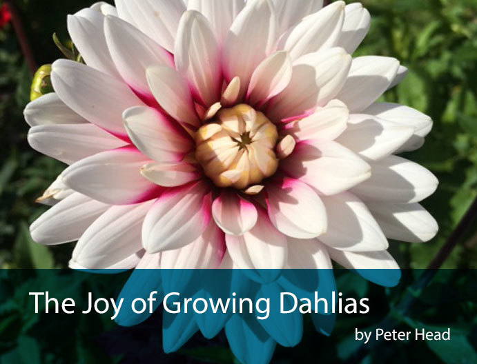dahlias-intro-shot
